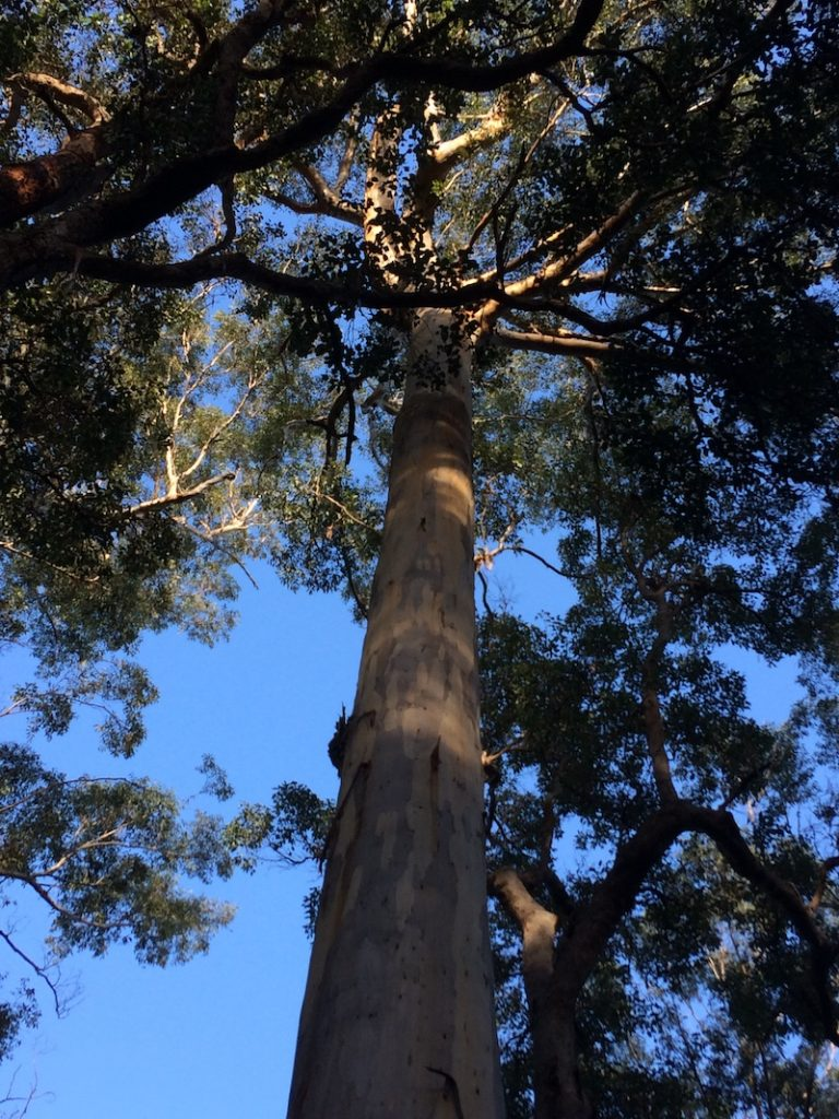 One of Pemberton's tall trees